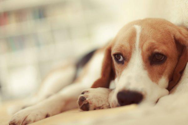 Beagle lying down looking worried