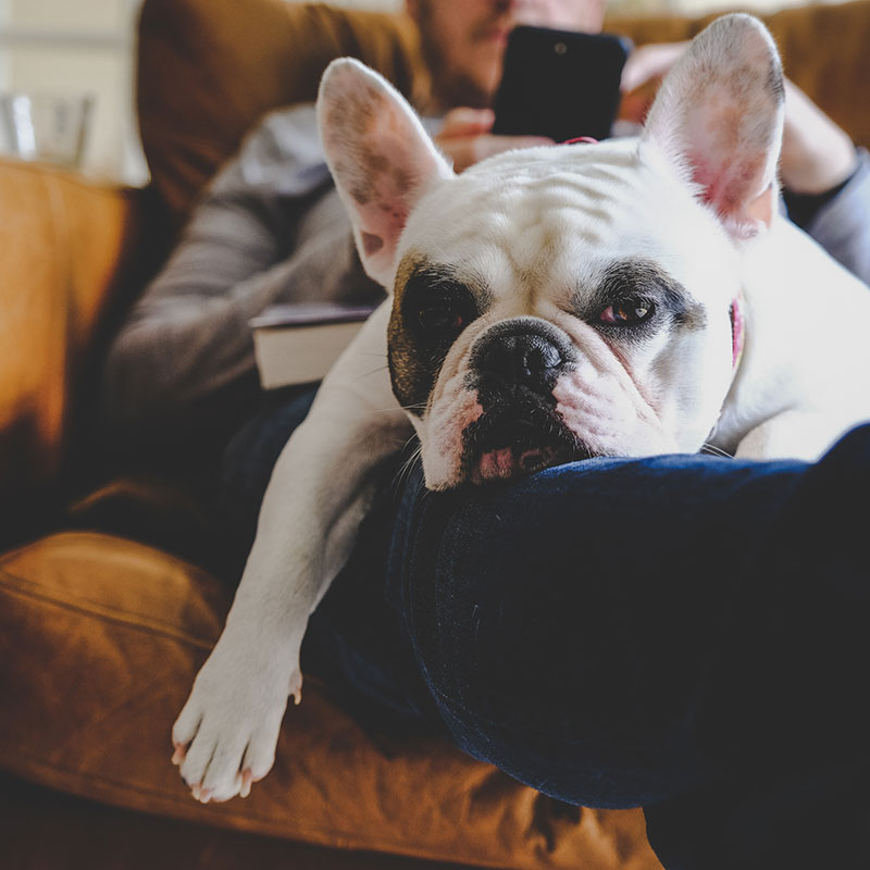 Man relaxing on sofa with his smartphone together with his Frenchie resting on his lap