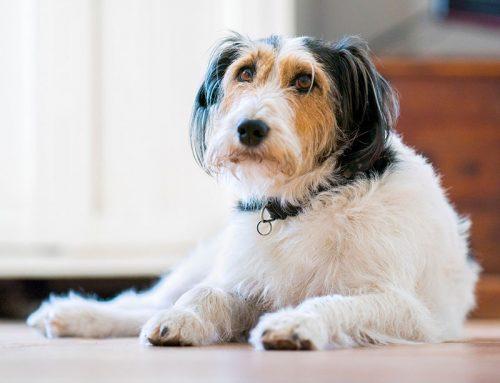 Cluster seizures in dogs