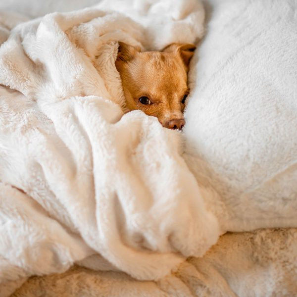 small dog under white covers