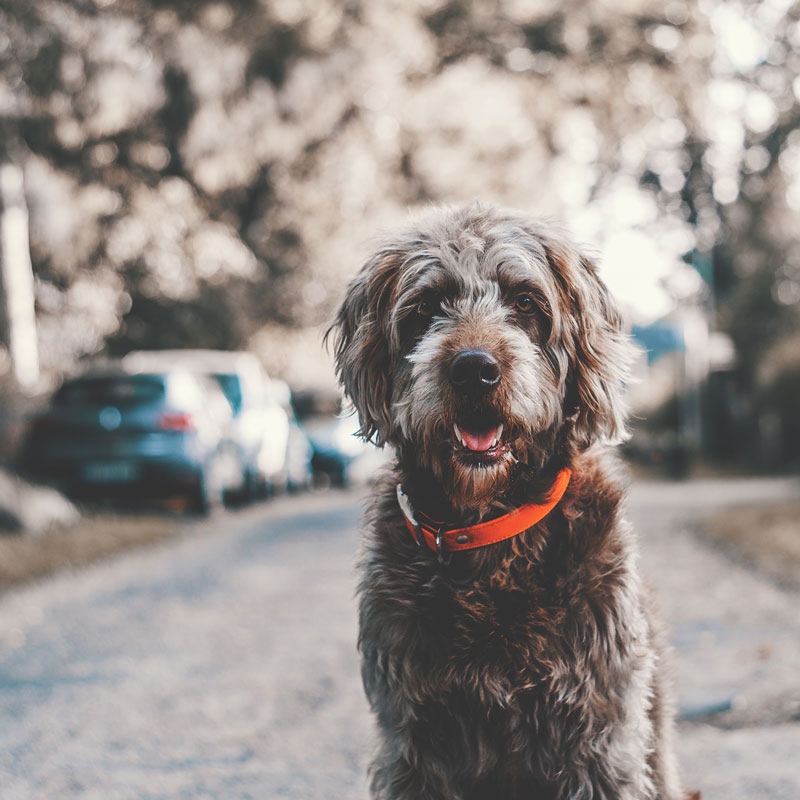 Grey shaggy dog with orange collar