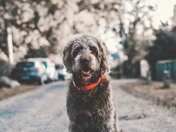 Grey shaggy dog with orange collar