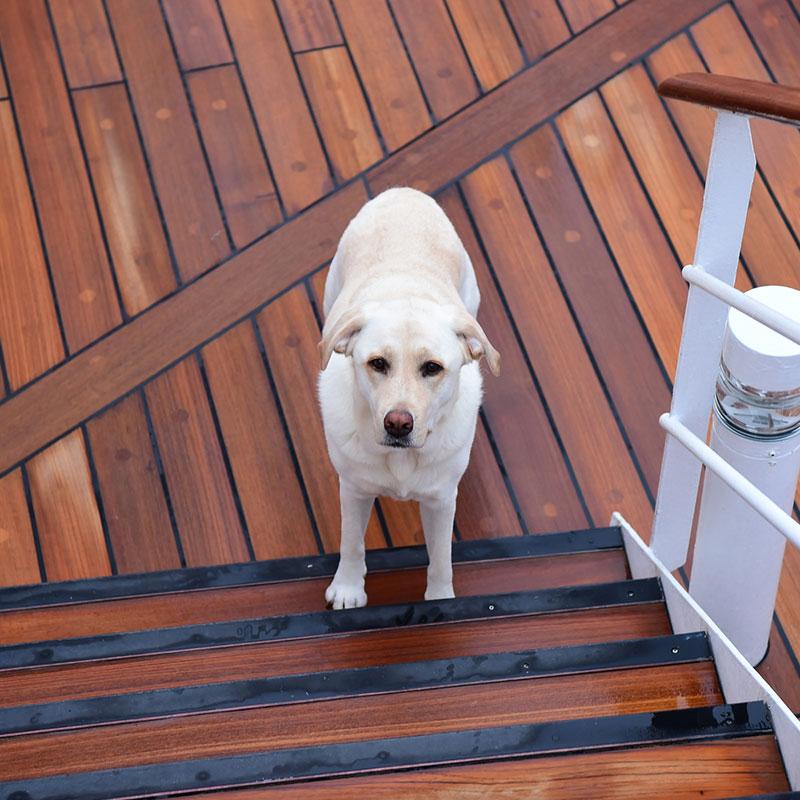 Labrador Retriever on a wooden deck