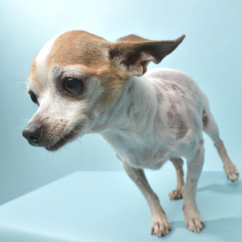 Rescue Animal - tricolor Chihuahua