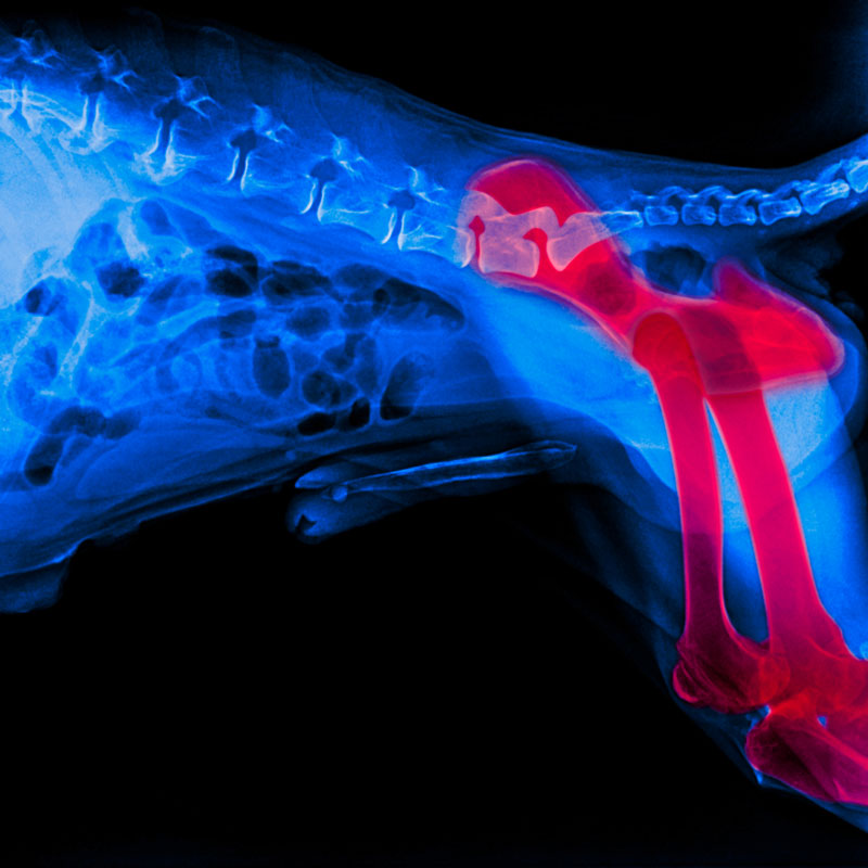 X-ray film of dog lateral view with red highlight in hind leg bone or Pelvis