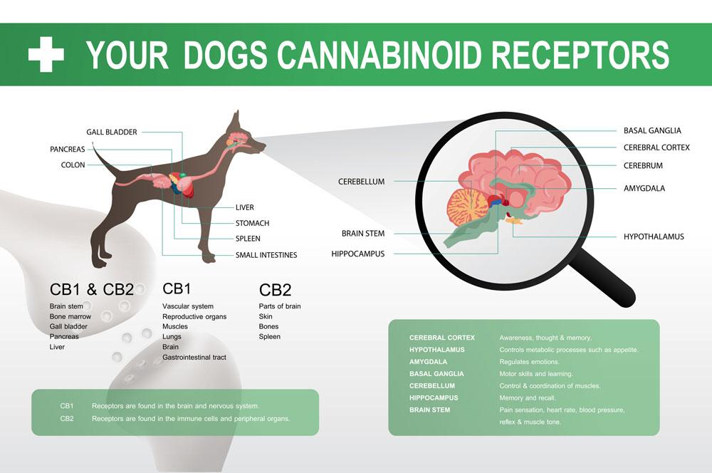 cannabinoid cb1 & cb2 receptor in the dog brain infographic