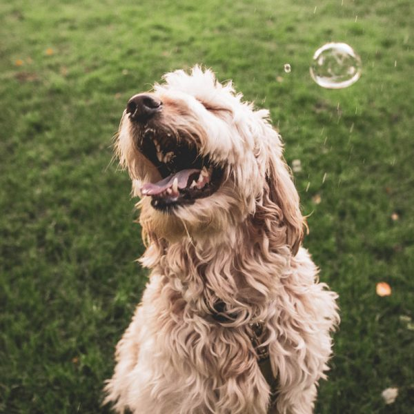 shaggy dog on grass with soap bubble