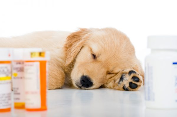 8 week old Golden Retriever puppy asleep lying on a white background with prescription pill bottles in the foreground