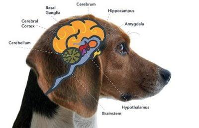 Cannabinoid receptors in your pet's brain