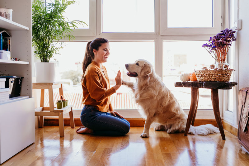 woman doing high five her adorable golden retriever dog at home