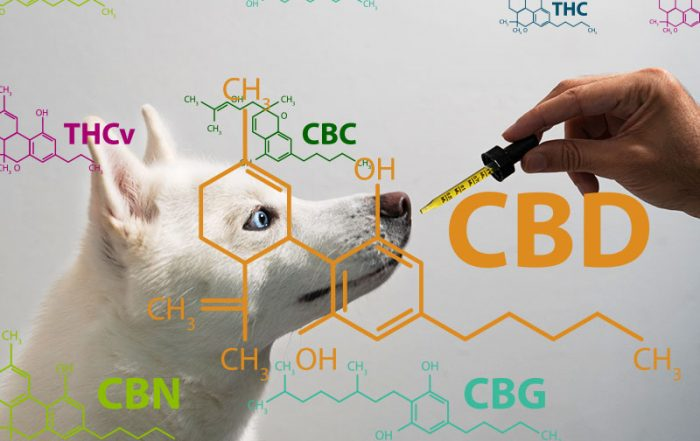 Dog taking CBD Hemp Oil from Tincture Dropper